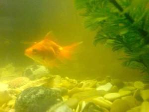 Почему мутнеет вода в аквариуме даже если фильтр стоит, как бороться