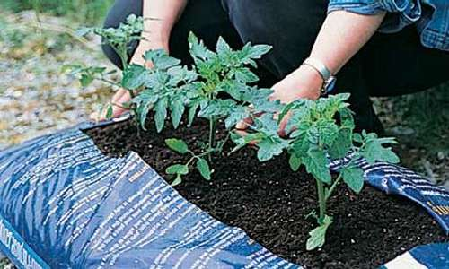 Почему синеет рассада помидор после высадки в грунт